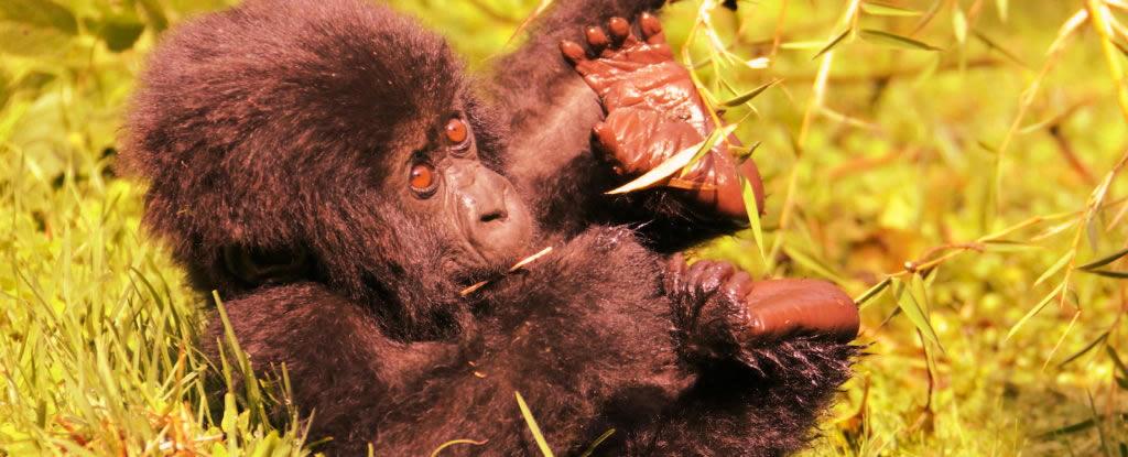 baby-gorilla-bwindi-national-park