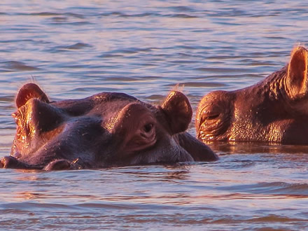 hippos-queen-elizabeth-national-park