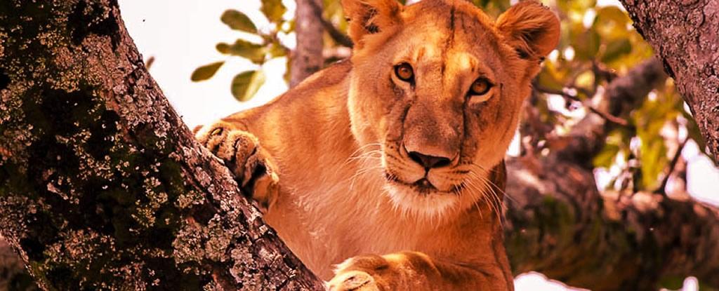 queen-elizabeth-uganda-tree-climbing-lion.jpg