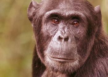 chimpanzee gorilla trekking