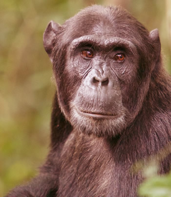 chimpanzee tracking kibale