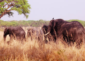 elephants queen Elizabeth np