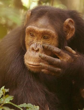 Kibale chimpanzees trekking